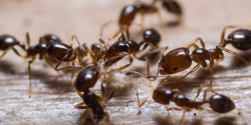 Ant pest control services